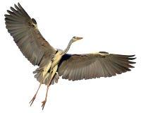 灰质的Ardea,在白色背景隔绝的灰色苍鹭飞行 免版税库存图片