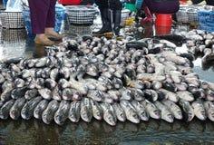 灰鲻鱼鱼待售在鱼市上 库存图片