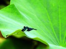 灵山蜻蜓 免版税库存图片