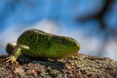灵活绿蜥蜴蝎虎座viridis,蝎虎座agilis特写镜头,取暖在树在太阳下 在一个交配季节的公蜥蜴 免版税图库摄影