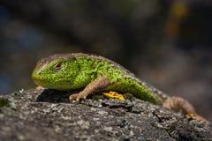 灵活绿蜥蜴蝎虎座viridis,蝎虎座agilis特写镜头,取暖在树在太阳下 在一个交配季节的公蜥蜴 库存图片