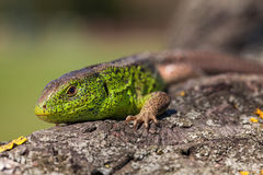 灵活绿蜥蜴蝎虎座viridis,蝎虎座agilis特写镜头,取暖在树在太阳下 在一个交配季节的公蜥蜴 免版税库存图片