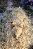 灼烧的猪头发与在宰割前的干燥秸杆 免版税库存图片