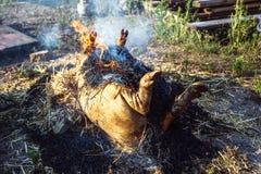 灼烧的猪头发与在宰割前的干燥秸杆 免版税库存照片