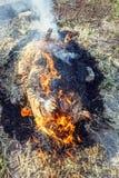 灼烧的猪头发与干燥秸杆 免版税图库摄影