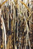 灼烧的甘蔗。 免版税库存图片