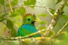 灿烂的格查尔, Pharomachrus mocinno,从有被弄脏的绿色森林前景和背景的尼加拉瓜 壮观神圣 免版税库存照片