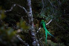 灿烂的格查尔, Savegre在有绿色森林的哥斯达黎加在背景中 壮观的神圣的绿色和红色鸟 细节画象 库存照片