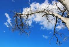 炎热的树的不生叶的分支反对蓝天的 免版税库存照片