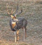 炫耀一个巨大的机架的鹿! 免版税库存照片