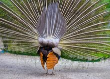 炫耀他壮观的全身羽毛的公孔雀 免版税图库摄影
