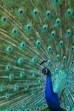 炫耀俏丽的孔雀 免版税库存图片