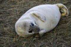 炫耀在照相机前面的海狮幼崽 免版税库存照片