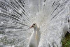 炫耀它全部的美丽的白色白变种孔雀 免版税库存图片