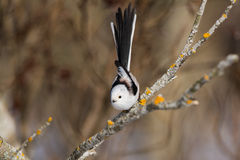 炫耀它的尾巴的长尾的山雀 免版税图库摄影