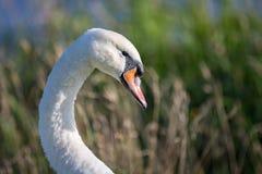 炫耀它的脖子的曲线天鹅由湖 库存照片