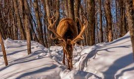 炫耀他的鹿角的马鹿在冬天 免版税库存图片