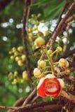 炮弹树, Couroupita guianensis与bokeh的Aubl花 库存照片