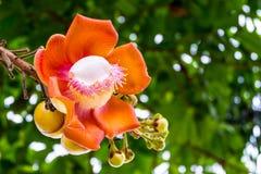 炮弹花或婆罗双树花在泰国 库存图片