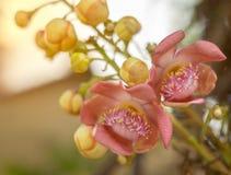 炮弹花,果子是圆的象球或负担 明亮的颜色是开花,特写镜头 库存图片