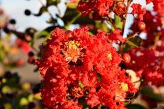 炸药红色绉绸桃金娘树, 库存图片