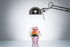 点燃有台灯的桃红色花盆 免版税库存图片