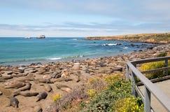 点的在圣西梅昂北部的Piedras Blancas海象殖民地加利福尼亚中央海岸的  免版税库存照片