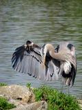 点头答礼的伟大蓝色的苍鹭的巢在湖 免版税库存图片