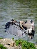 点头答礼的伟大蓝色的苍鹭的巢在湖 免版税库存照片