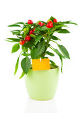 炽热辣椒植物, 图库摄影