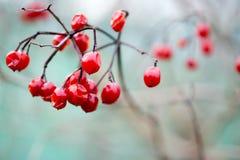 烂掉冬天莓果,英国 免版税库存照片