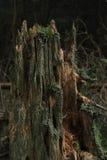 烂掉树桩在森林,死的木头,生物里,腐烂 免版税库存图片
