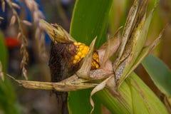 烂掉玉米仍然在茎 免版税库存图片