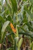 烂掉玉米仍然在茎 免版税图库摄影