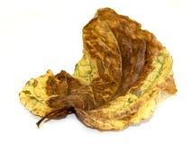 烘干与金黄和绿色成脉络的leav的巨大的被弄皱的褐色 免版税库存照片