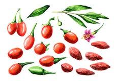 烘干了和新鲜的Goji莓果或枸杞barbarum元素集 E 库存例证