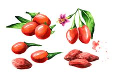烘干了和新鲜的Goji莓果或枸杞barbarum集合 E 向量例证