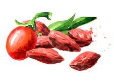 烘干了和新鲜的Goji莓果或枸杞barbarum E 皇族释放例证