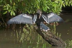 烘干其全身羽毛水的美洲蛇鸟鸟 库存照片