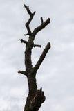 烘干分支的树 免版税图库摄影