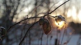 烘干叶子反对明亮的太阳背景在冬天 慢动作录影 股票录像