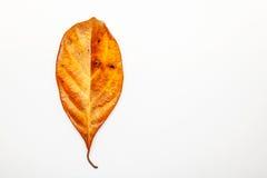 烘干叶子在白色背景的静脉纹理 叶子静脉上面竞争 库存照片