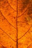 烘干叶子静脉纹理 关闭在叶子纹理 叶子成脉络m 免版税图库摄影