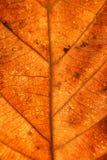 烘干叶子静脉纹理 关闭在叶子纹理 叶子成脉络m 图库摄影