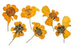 烘干和按在白色背景隔绝的春天野花 黄色花干燥标本集  免版税库存照片