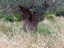 烘干和播种野草和一棵古老橄榄树 图库摄影