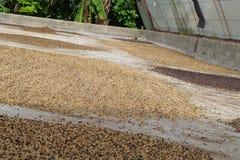 烘干咖啡豆 库存图片