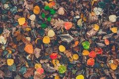烘干在地面上的下落的五颜六色的叶子 秋天时间 更改季节 回到学校 在森林的雨以后 免版税库存照片