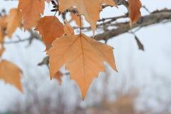 烘干在树的叶子 免版税库存图片