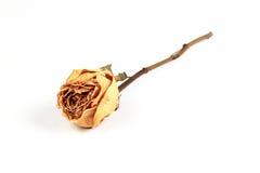 烘干在玫瑰白色 库存图片